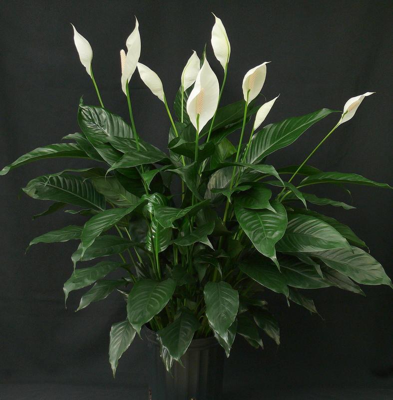 komnatnyj-cvetok-genskoe-schastie-1.jpg